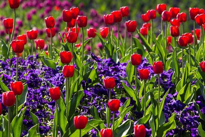 jak posadzić tulipany